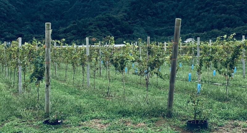 新潟_カーブドッチ_日本ワイン_ぶどう畑