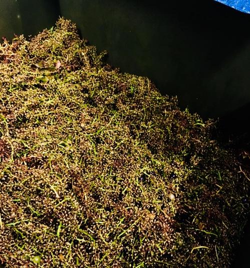 新潟_カーブドッチ_日本ワイン_醸造前