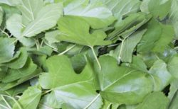 ダイエット中の飲酒前に食べたい「桑の葉」の効能とは?